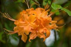 Конец-вверх азалии пламени цветет calendulaceum рододендрона †« стоковое изображение