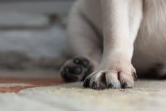 Конец-вверх лапки собаки Порода собаки - мопс Когти на лапке стоковые фото