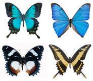 Конец-вверх бабочек собрания пестротканых красивых голубых Стоковые Фотографии RF