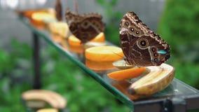 Конец-вверх бабочки голубых peleides Morpho коричневой питаясь на цитрусовых фруктах на предпосылке 2 бабочек blury видеоматериал