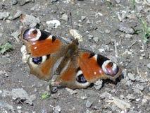 Конец-вверх бабочки павлина сидя на земле стоковые изображения rf