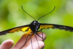 Конец-вверх бабочки сидя на зеленых лист Стоковая Фотография