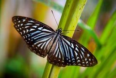 Конец-вверх бабочки сидя на зеленых лист Стоковое Фото