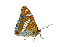 Конец вверх бабочки (ussuriensis) populi Limenitis, профиля Стоковые Фотографии RF
