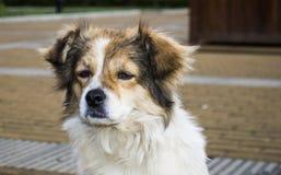 Конец-вверх бездомной собаки Стоковое Изображение RF