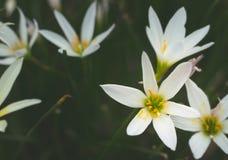 Конец-вверх белого цветка, макрос цветка бесплатная иллюстрация