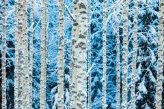Конец-вверх белых снежных хоботов березы в лесе зимы стоковые изображения rf