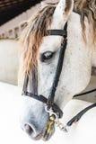 Конец-вверх, белая лошадь в paddock Стоковые Изображения