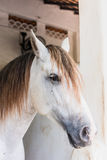 Конец-вверх, белая лошадь в paddock Стоковое Изображение RF