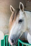 Конец-вверх, белая лошадь в paddock Стоковое фото RF