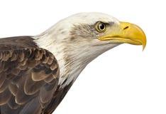 Конец-вверх белоголового орлана - leucocephalus Haliaeetus Стоковые Фото