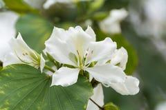 Конец-вверх белого цветка bauhinia стоковые фотографии rf