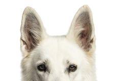 Конец-вверх белой швейцарской изолированной верхней части собаки чабана головы, стоковые изображения
