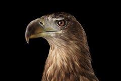Конец-вверх Бело-замкнул орла, хищных птиц изолированных на черной предпосылке Стоковые Изображения RF