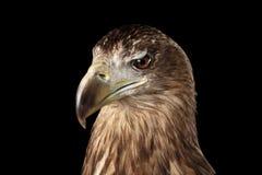 Конец-вверх Бело-замкнул орла, хищных птиц изолированных на черной предпосылке Стоковые Изображения