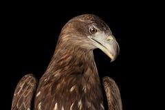 Конец-вверх Бело-замкнул орла, хищных птиц изолированных на черной предпосылке Стоковая Фотография