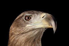 Конец-вверх Бело-замкнул орла, хищных птиц изолированных на черной предпосылке Стоковая Фотография RF