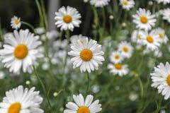 Конец-вверх белых маргариток outdoors на солнечном Стоковое Изображение