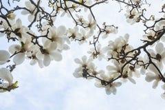 Конец-вверх белых цветений дерева магнолии. Стоковое Фото