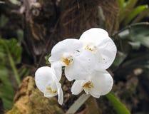 Конец-вверх белых цветений орхидеи Стоковая Фотография