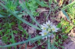Конец-вверх белых цветков звезды завода Ornithogalum Вифлеема Стоковая Фотография