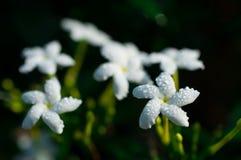 Конец-вверх белых цветков с водой падает в сад/макрос белого цветка с падениями воды в лесе Стоковое Изображение