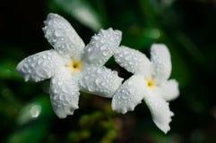 Конец-вверх белых цветков с водой падает в сад/макрос белого цветка с падениями воды в лесе Стоковое Фото