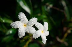 Конец-вверх белых цветков с водой падает в сад/макрос белого цветка с падениями воды в лесе Стоковое Изображение RF