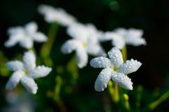Конец-вверх белых цветков с водой падает в сад/макрос белого цветка с падениями воды в лесе Стоковые Фото