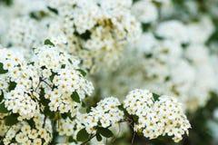 Конец-вверх белых цветков spirea Стоковые Фото