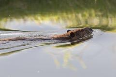 Конец-вверх бобра в воде Стоковая Фотография RF