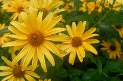 Конец-вверх Большие желтые маргаритки Большие желтые цветки стоковое фото