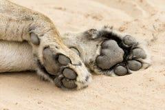 Конец-вверх больших и мощных лапок льва на мягком песке Kalahari Стоковая Фотография