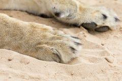 Конец-вверх больших и мощных лапок льва на мягком песке Kalahari Стоковые Фото