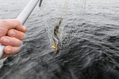 Конец-вверх больших уловленных рыб, рук рыболова держа сеть посадки с большими рыбами щуки Концепции успешной рыбной ловли Стоковые Фото