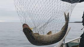 Конец-вверх больших уловленных рыб, рук рыболова держа сеть посадки с большими рыбами щуки Концепции успешной рыбной ловли Стоковая Фотография RF