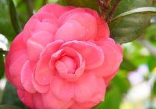 Конец вверх большой камелии Japonica - цветок розовой древесины розовый с зеленым цветом выходит в предпосылку Стоковая Фотография RF