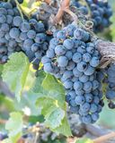Конец-вверх большой пук фиолетовых виноградин вина на виноградных винах в осени Стоковое Изображение
