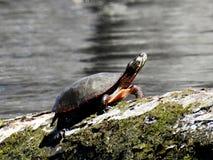 Конец-вверх большой черепахи около озера стоковое изображение rf