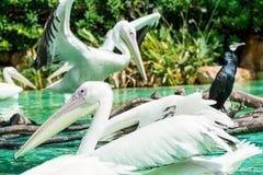 Конец-вверх больших птиц белого пеликана в пруде Стоковая Фотография