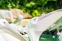 Конец-вверх больших птиц белого пеликана ждать еду Стоковое Изображение RF