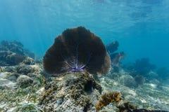Конец-вверх большого вентилятора моря сидя на коралловом рифе в голубых Вест-Инди Стоковая Фотография