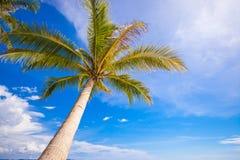 Конец-вверх большой пальмы на небе предпосылки голубом Стоковая Фотография RF