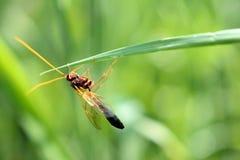 Конец-вверх Брайн-апельсина покрасил Ichneumonidae Ammophila оси стоковое фото