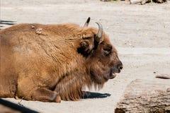 Конец-вверх буйвола головной стоковые изображения rf