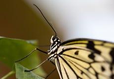 Конец вверх бумажной головы бабочки змея Стоковое Фото