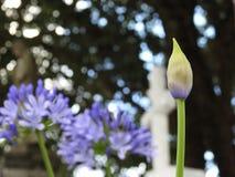 Конец-вверх бутона африканской лилии Agapanthus в весеннем времени стоковое фото