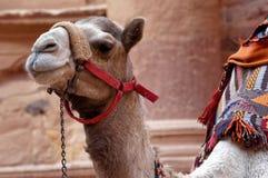Конец-вверх верблюда в Petra ждать перед сокровищницей для туристов которые хотят ехать на ей Стоковое фото RF