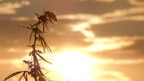 Конец-вверх верхней части ветви молодой ветви пеньки пошатывая в ветре на фоне захода солнца в небе сток-видео