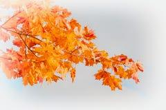 Конец-вверх ветви клена красочной осени золотой с яркими листьями против светлой предпосылки Современная предпосылка с экземпляро Стоковое Изображение